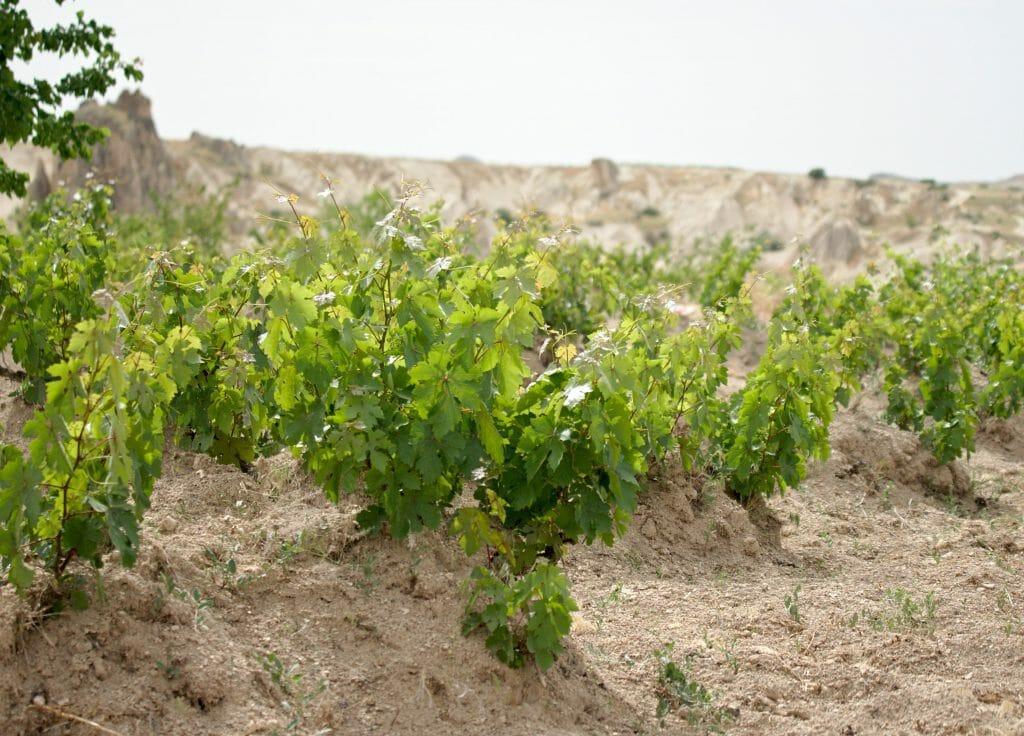 vignes de cappadoce