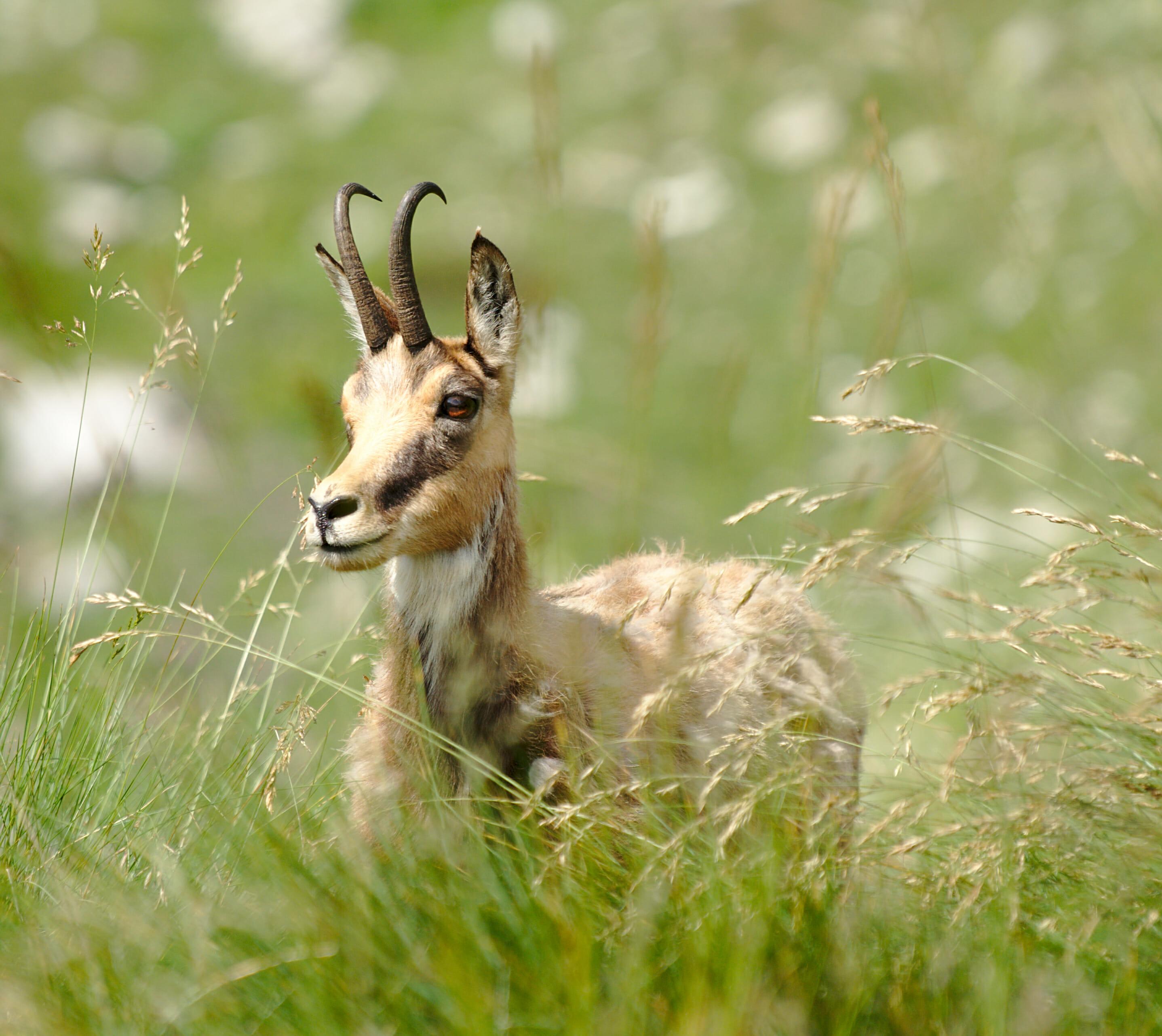 wild goat bulgaria