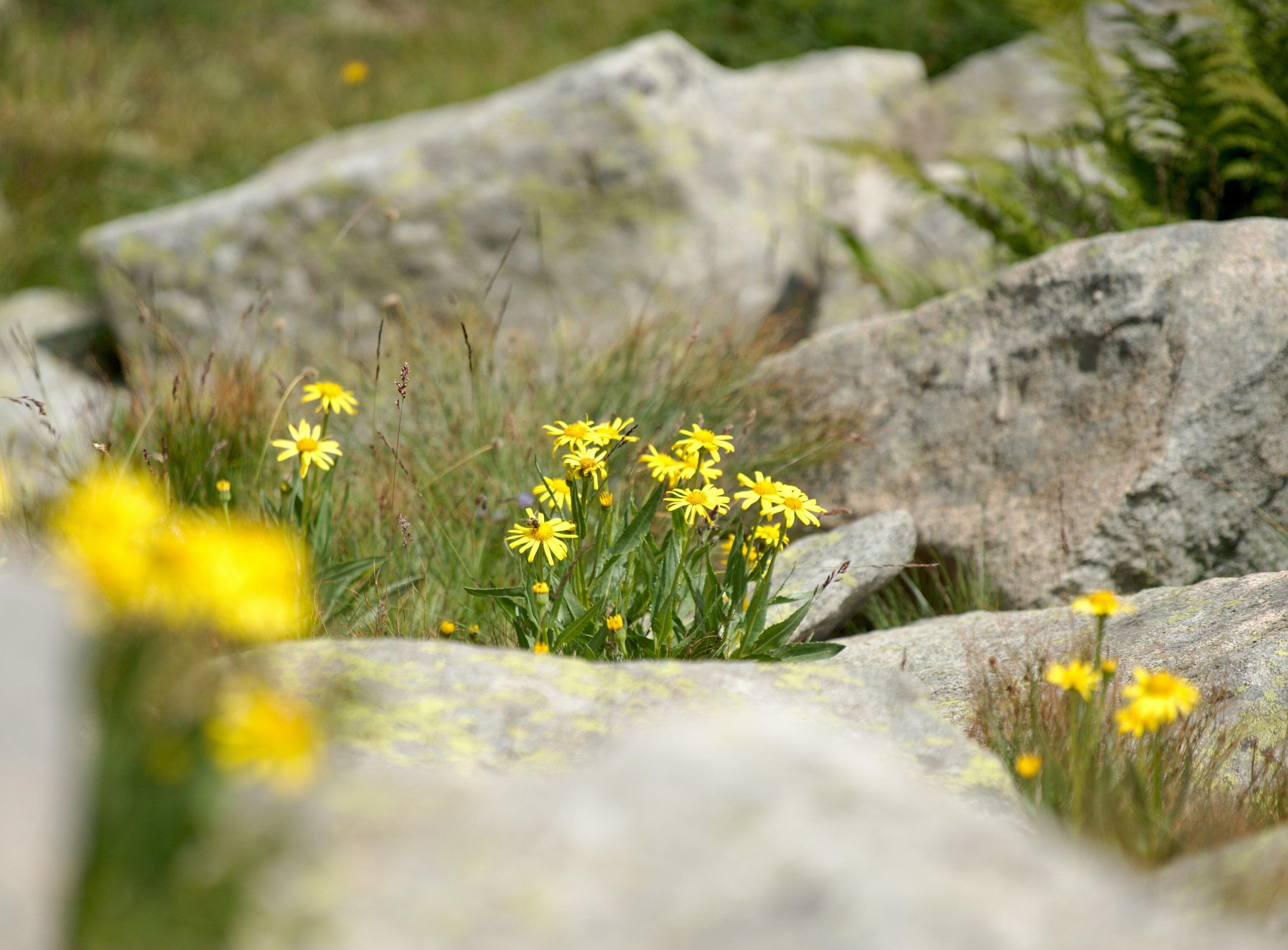flower pirin national park