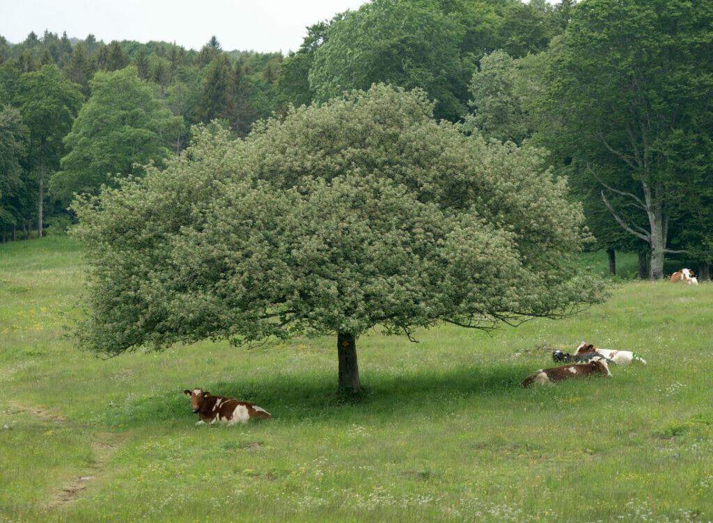 arbre et vaches