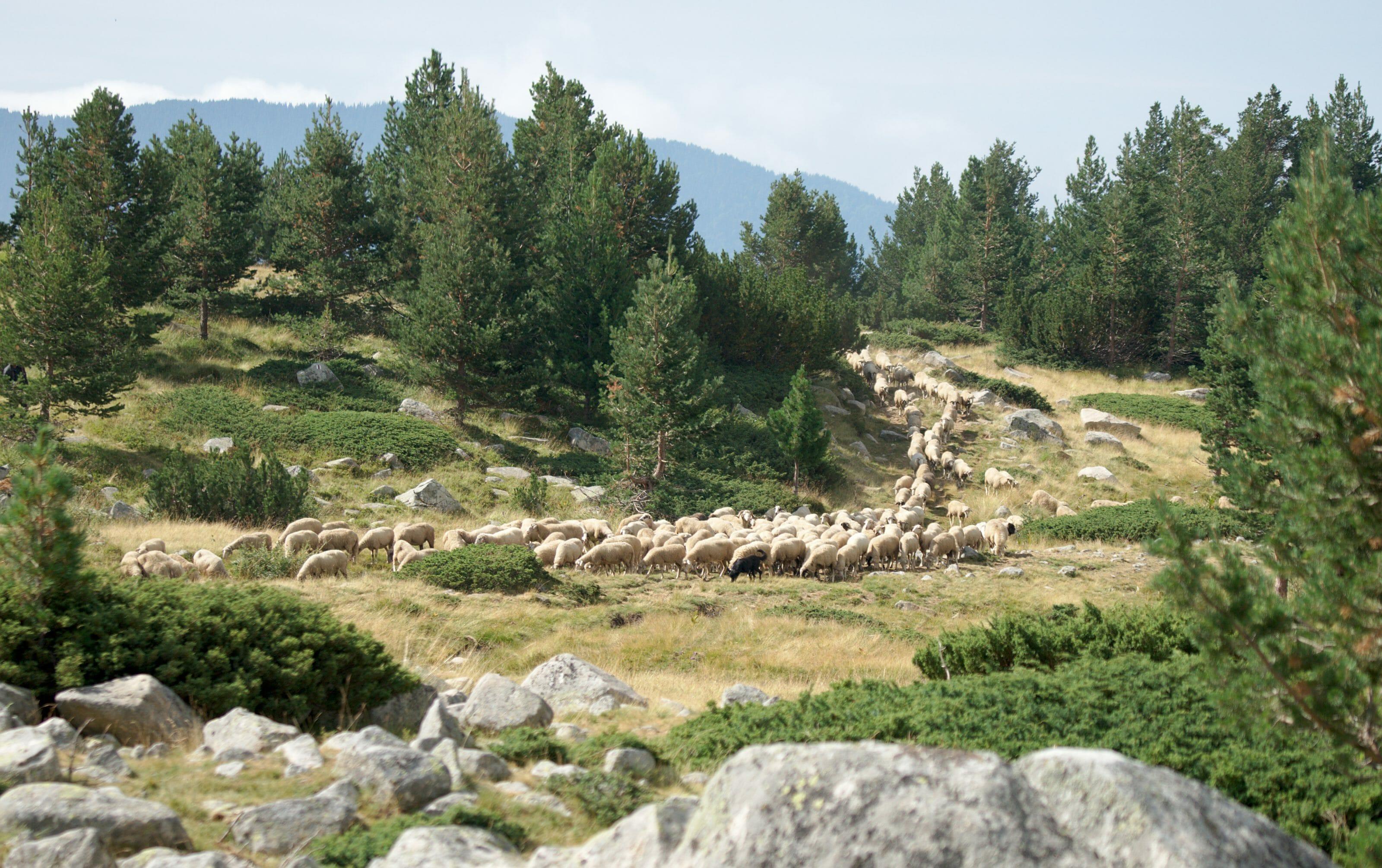 troupeau de mouton en bulgarie
