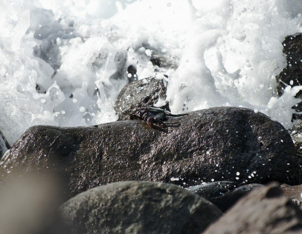 crabe noir grande canarie