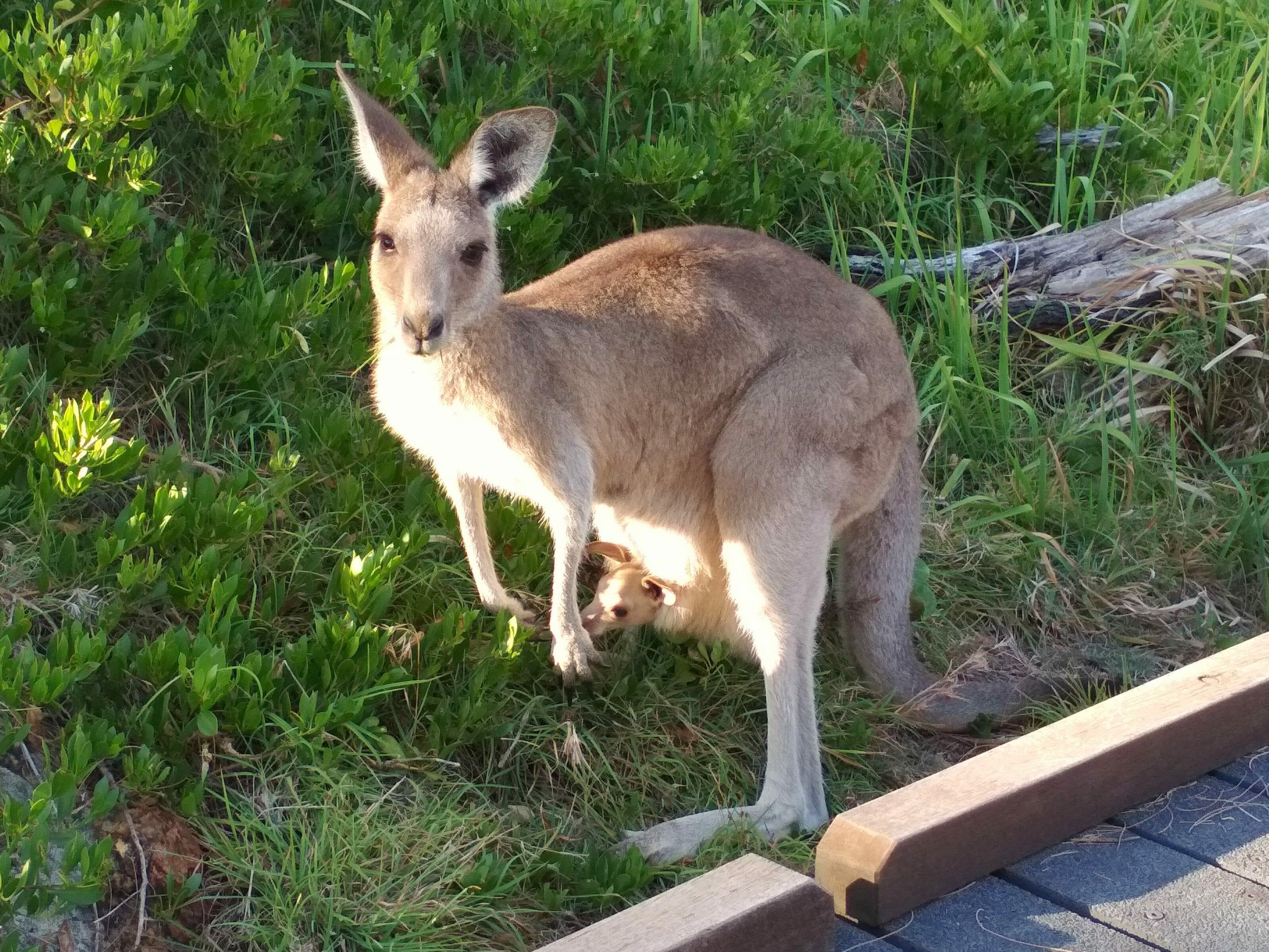 kangourou en Australie Brisbane