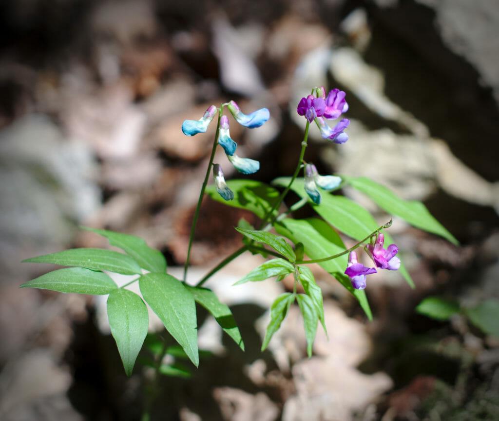 fleurs du chablais