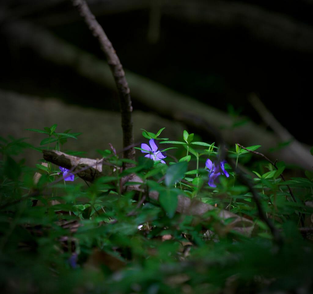 fleurs chablais chalavornaire
