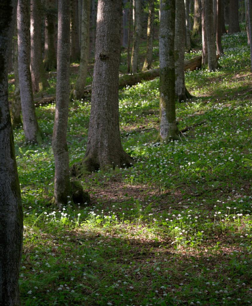 ail des ours en forêt