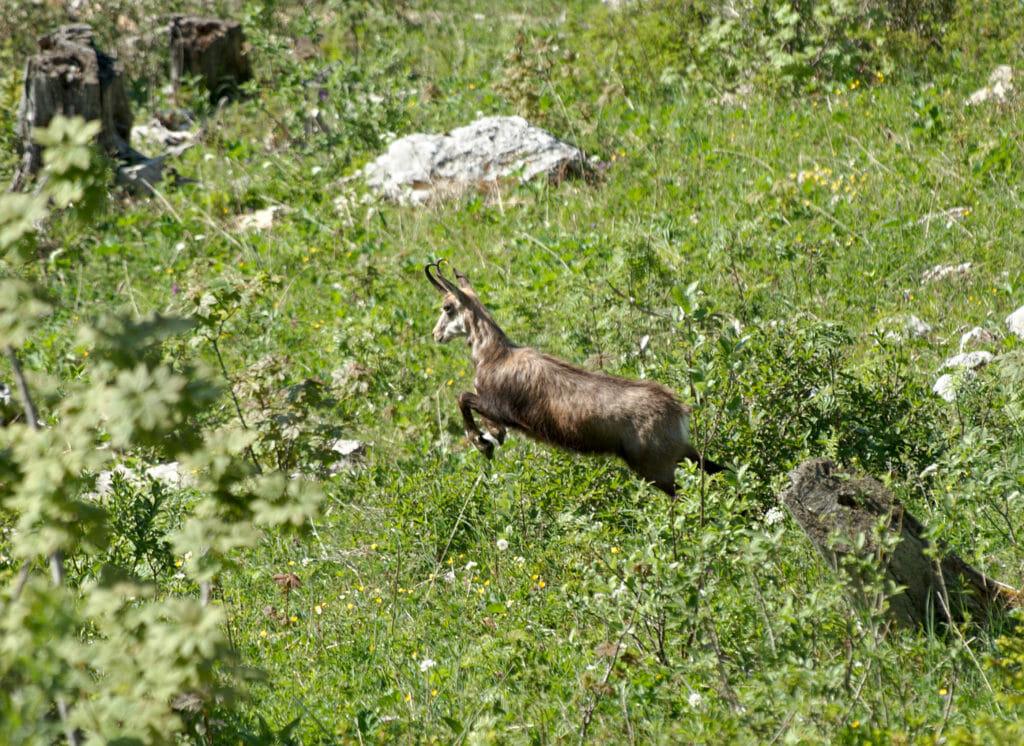 chamois suisse