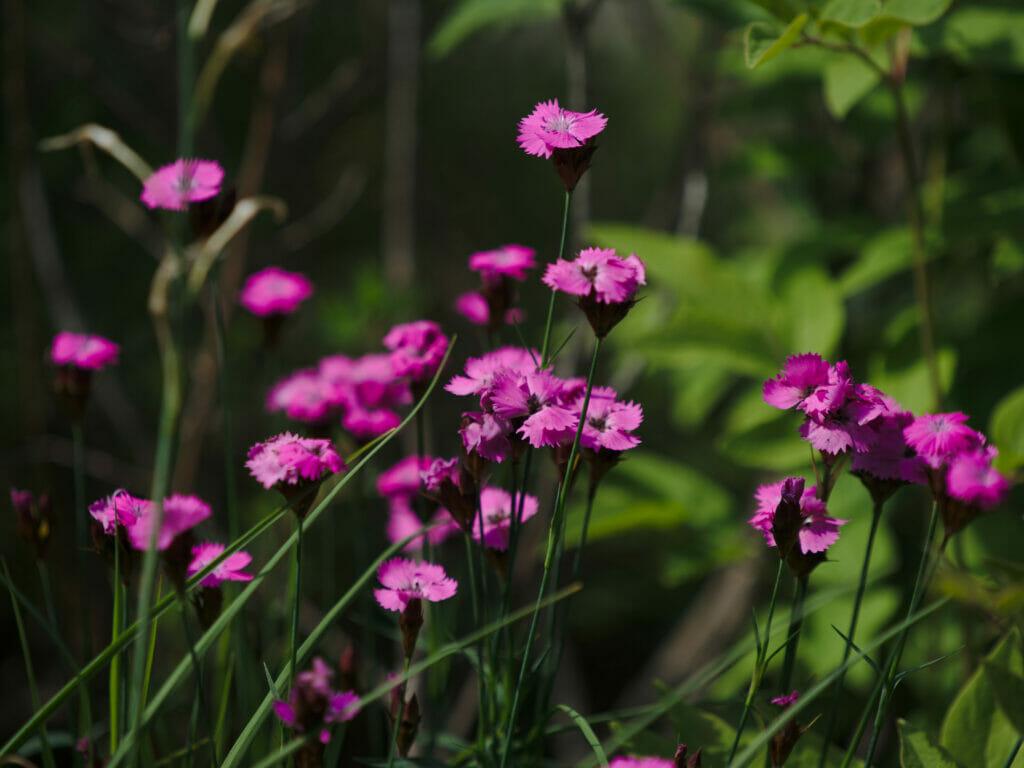 fleur montagne