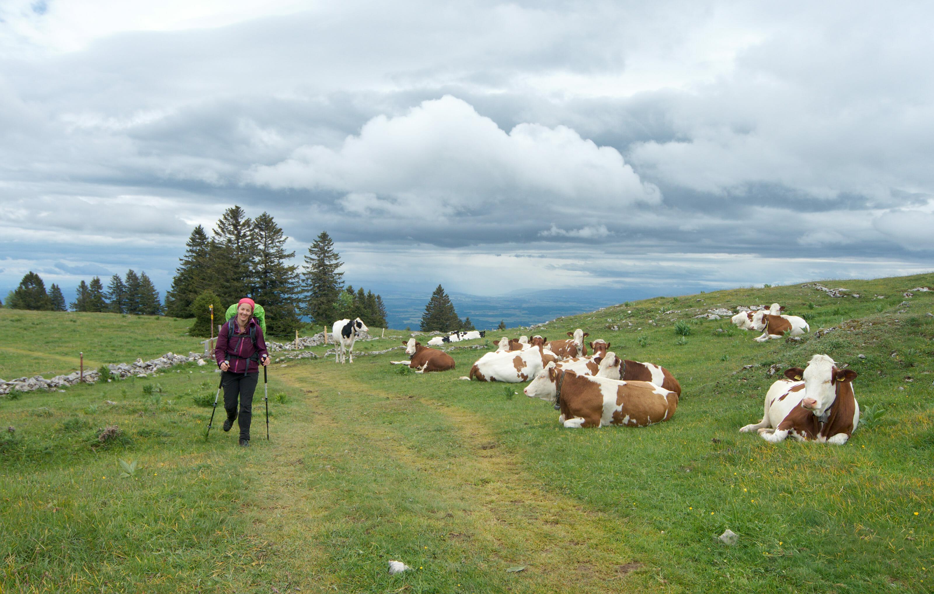 traversée de troupeau en randonnee