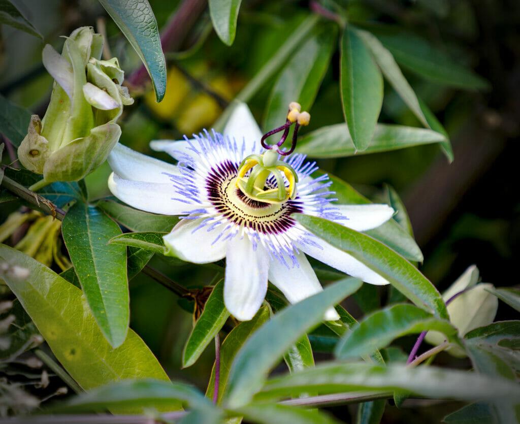 fleur du piémont