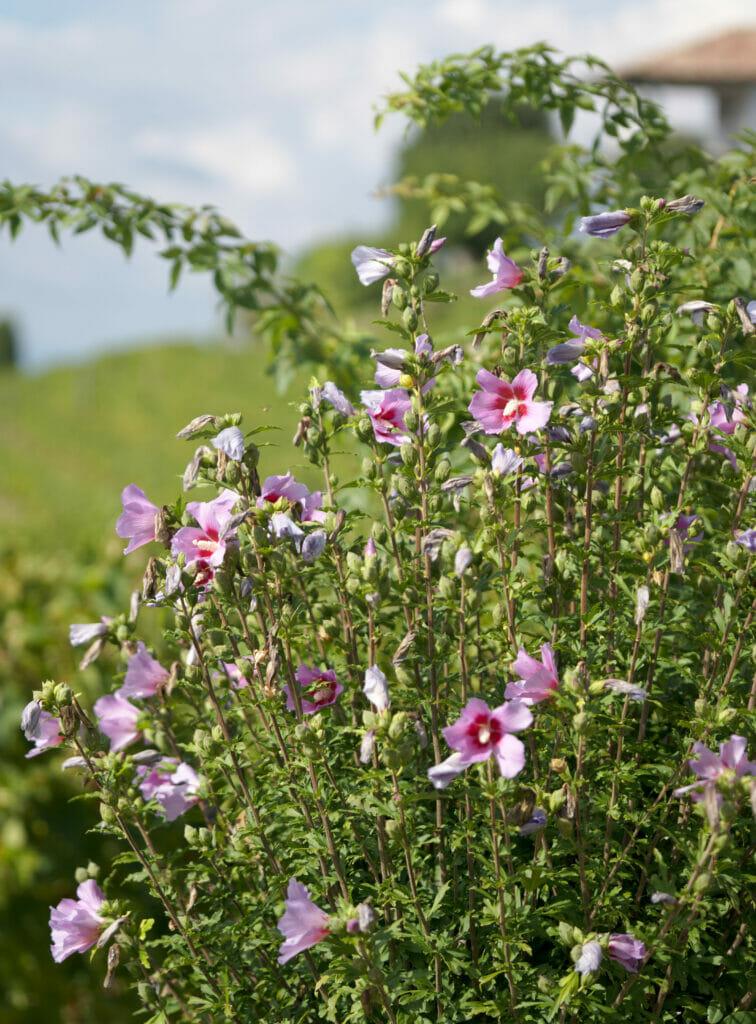 fleurs dans les vignes