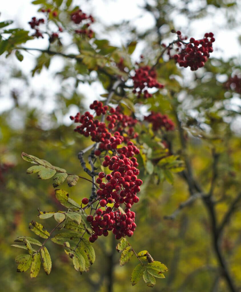 baies en automne