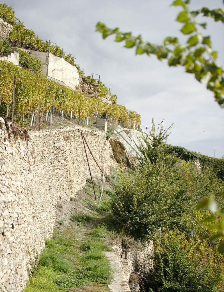 vignes en terrasse