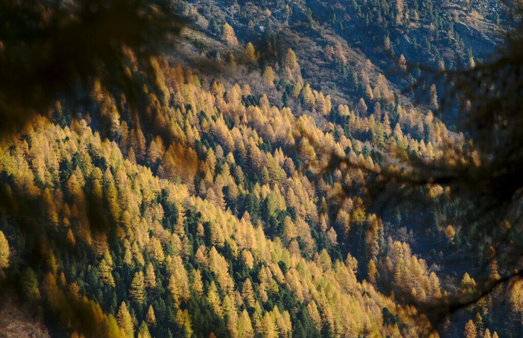 mélèzes à l'automne val d'hérens