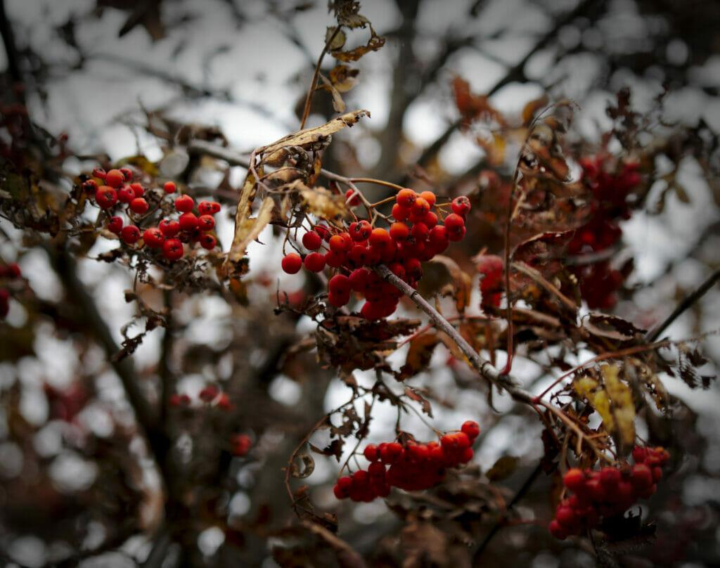 baies d'automne au val d'hérens
