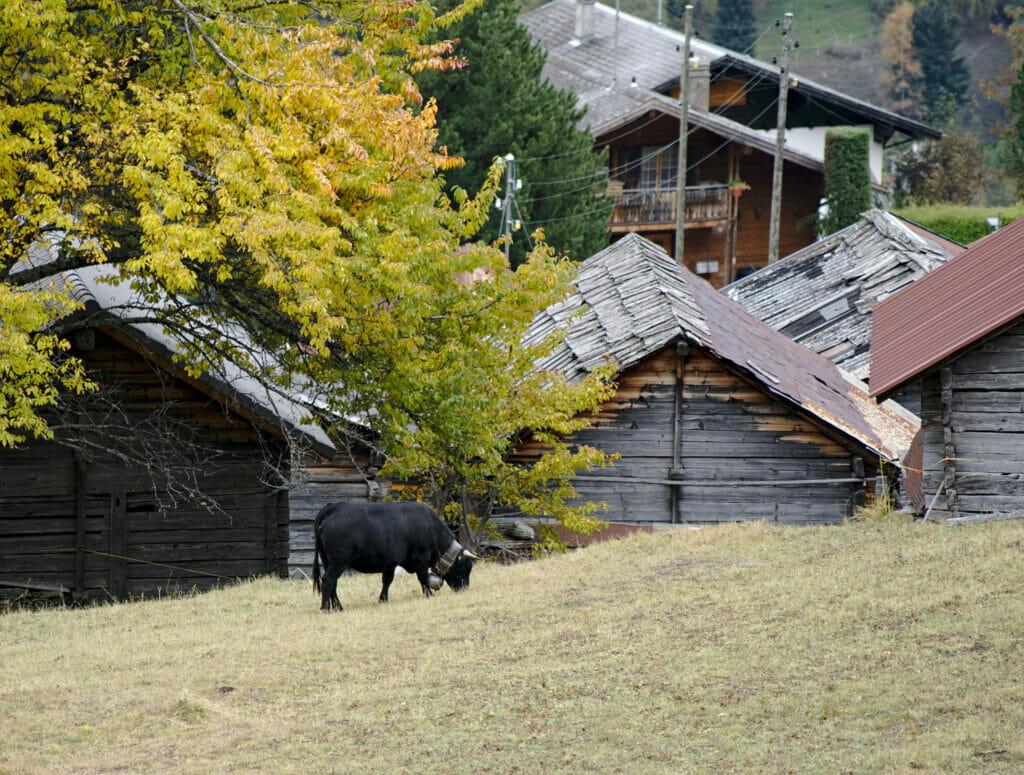 les vaches d'Hérens
