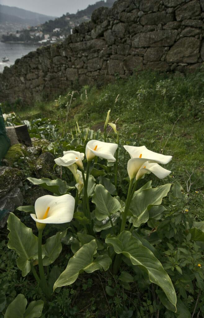 fleurs typiques de Galice