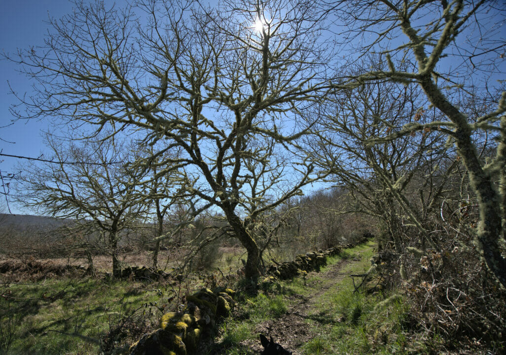 arbre dans la campagne de la ribeira sacra