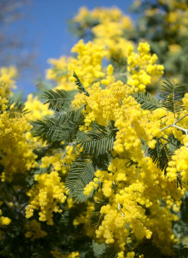 arbres en fleurs Galice