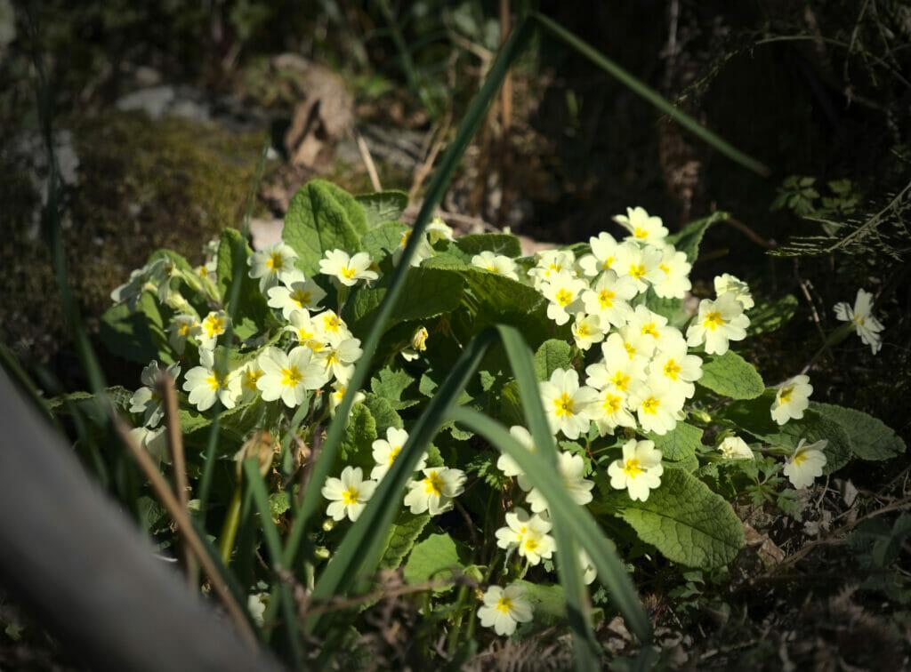 fleurs du printemps en Galice