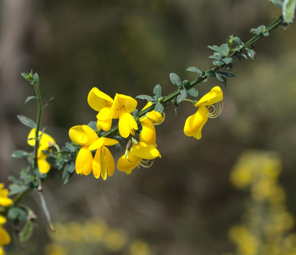 flors galice