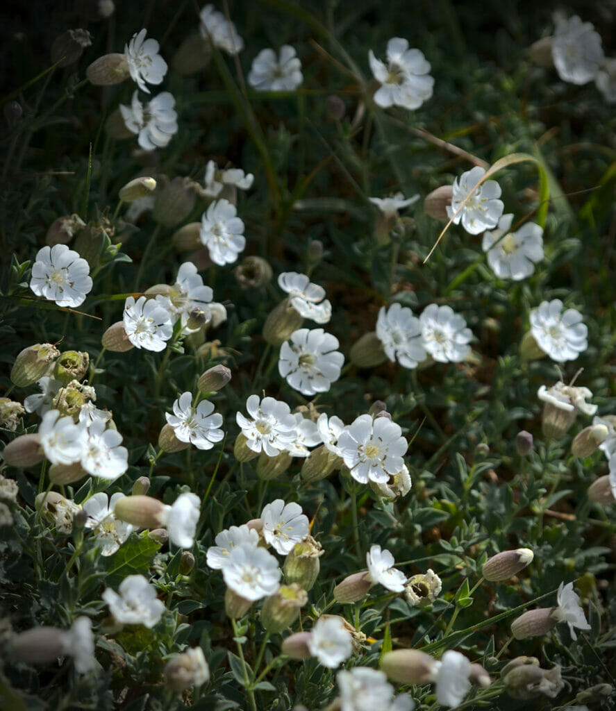 fleur en galice