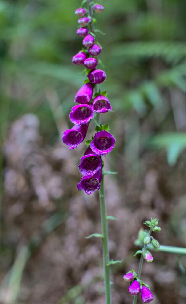 de jolies fleurs à Fragas do Eume