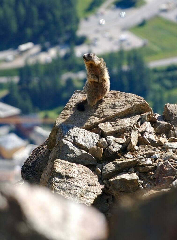 marmottes grisons