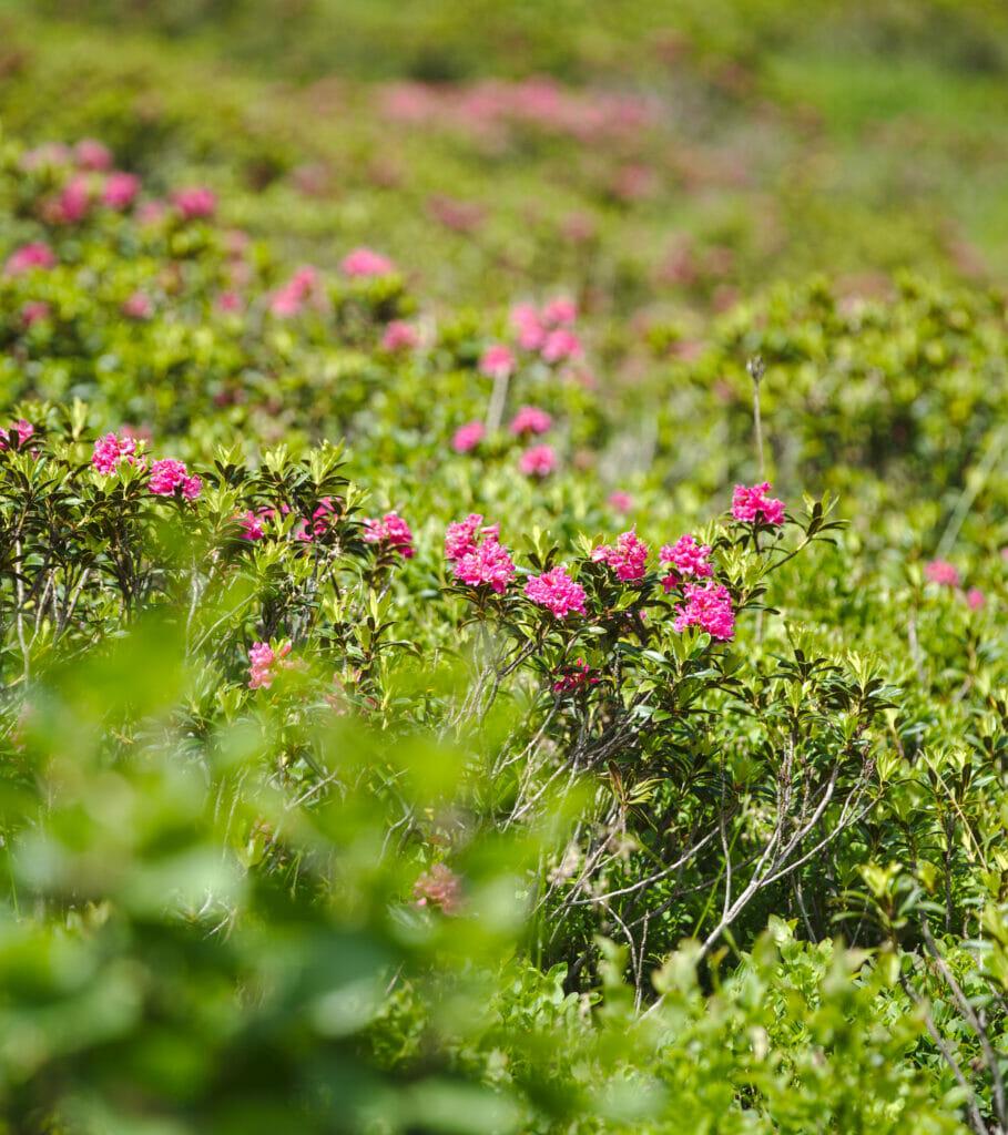 fleurs grisons