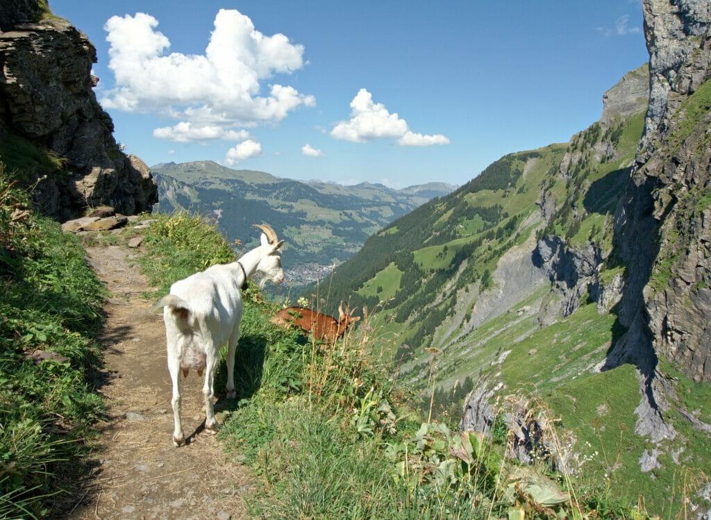chèvres au pas d'Encel
