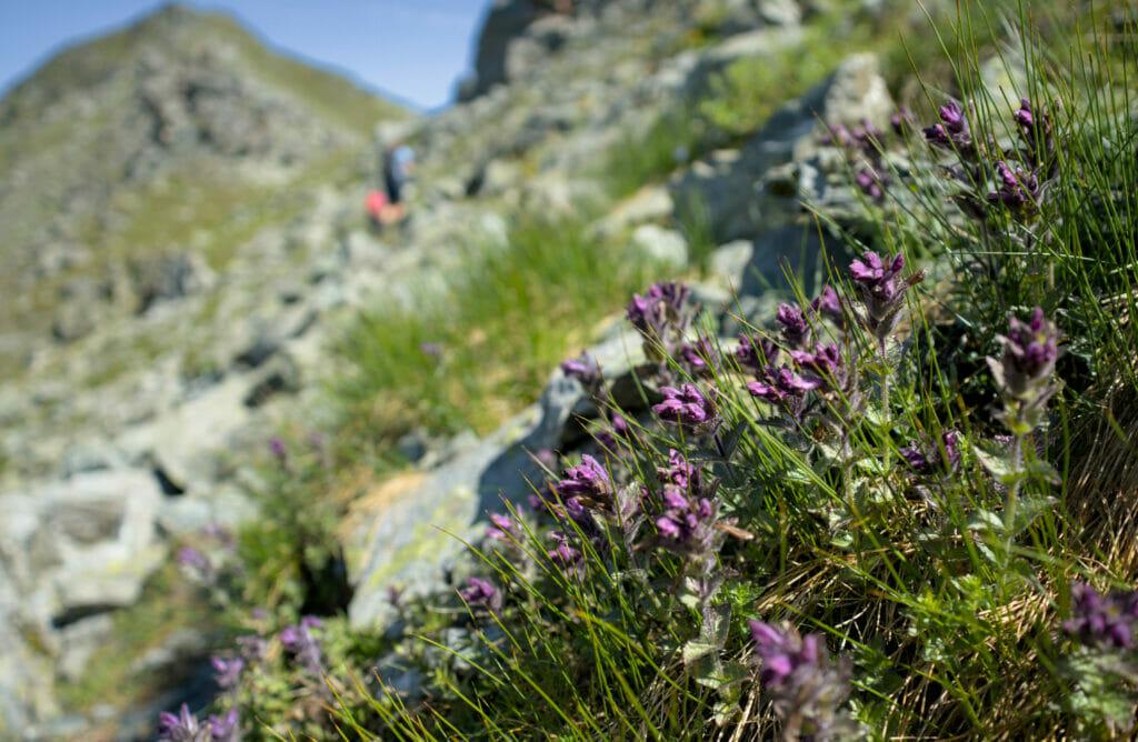 les fleurs des montagnes du val d'hérens