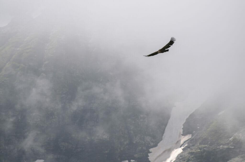 un vautour qui plane autour des Dents du Midi